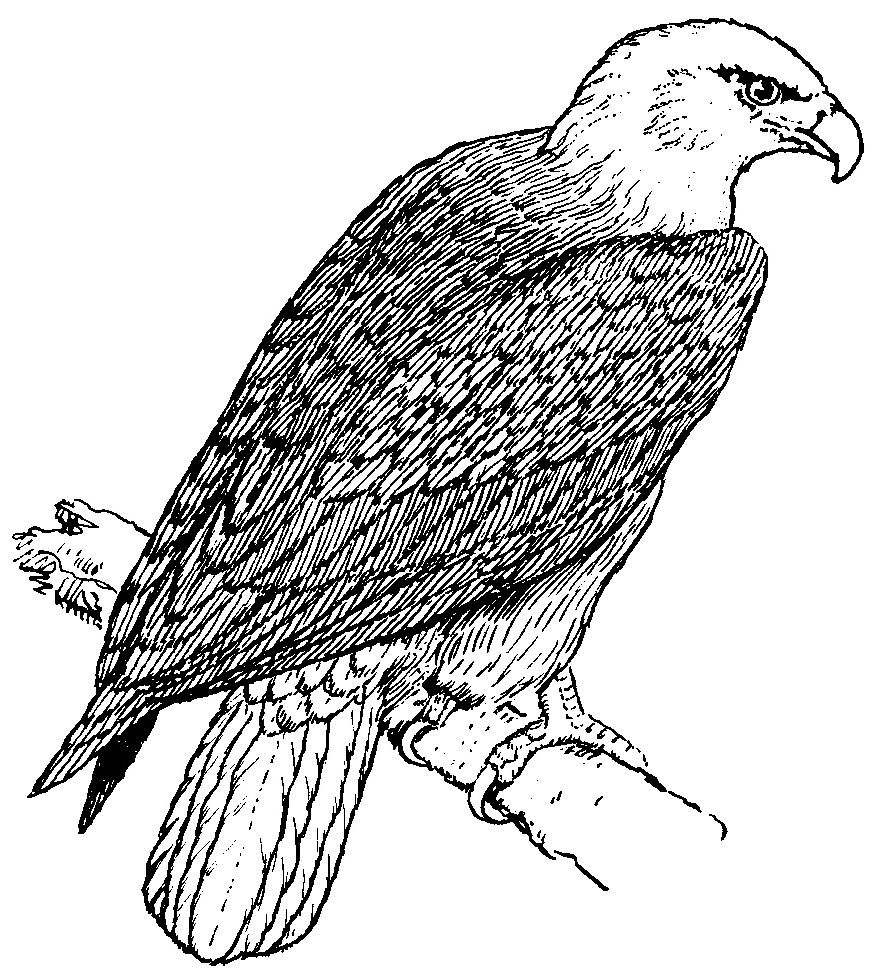 Free coloring pages american bald eagle - Bald Eagle Coloring Page