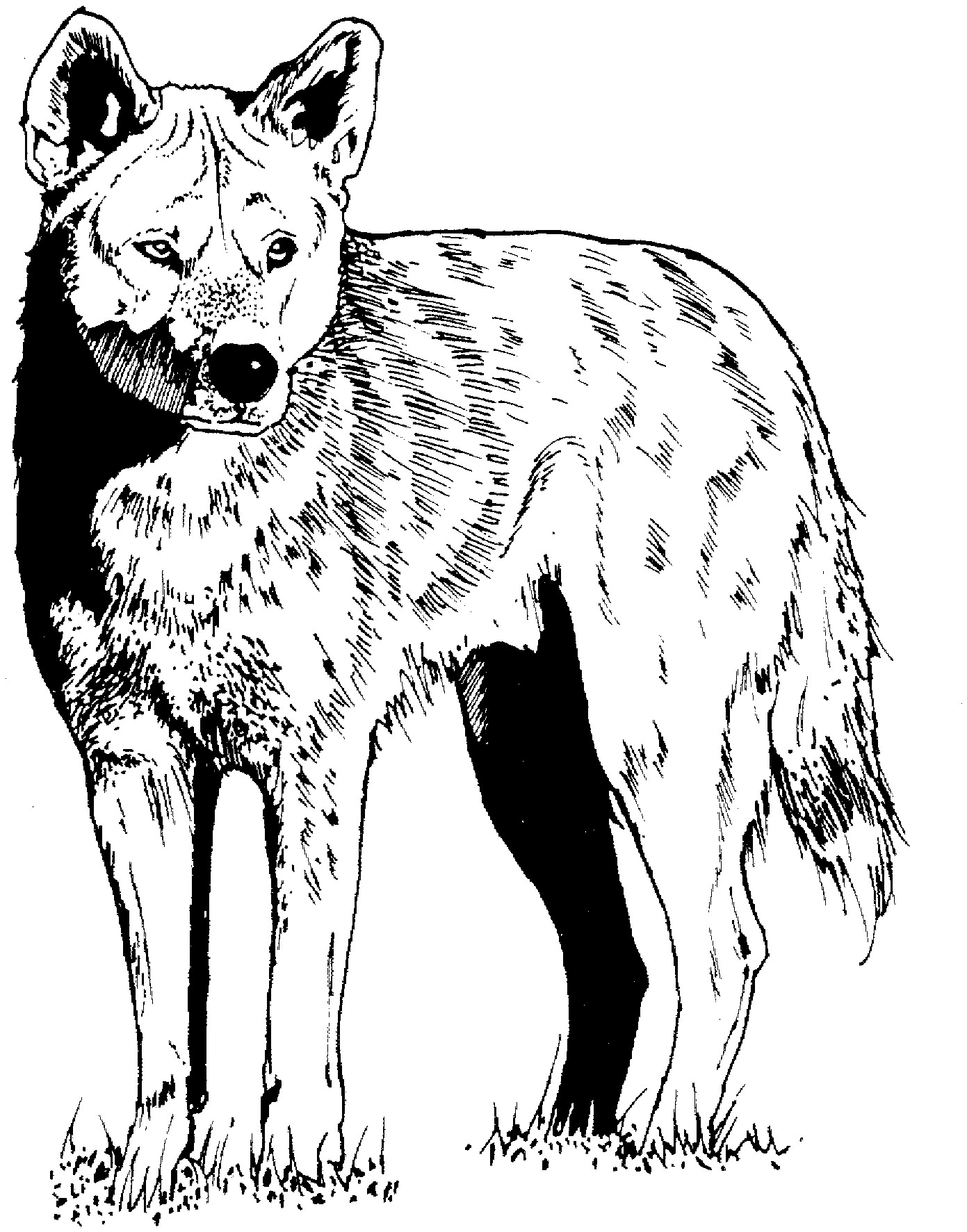 coyote pictures coloring pages - photo#24