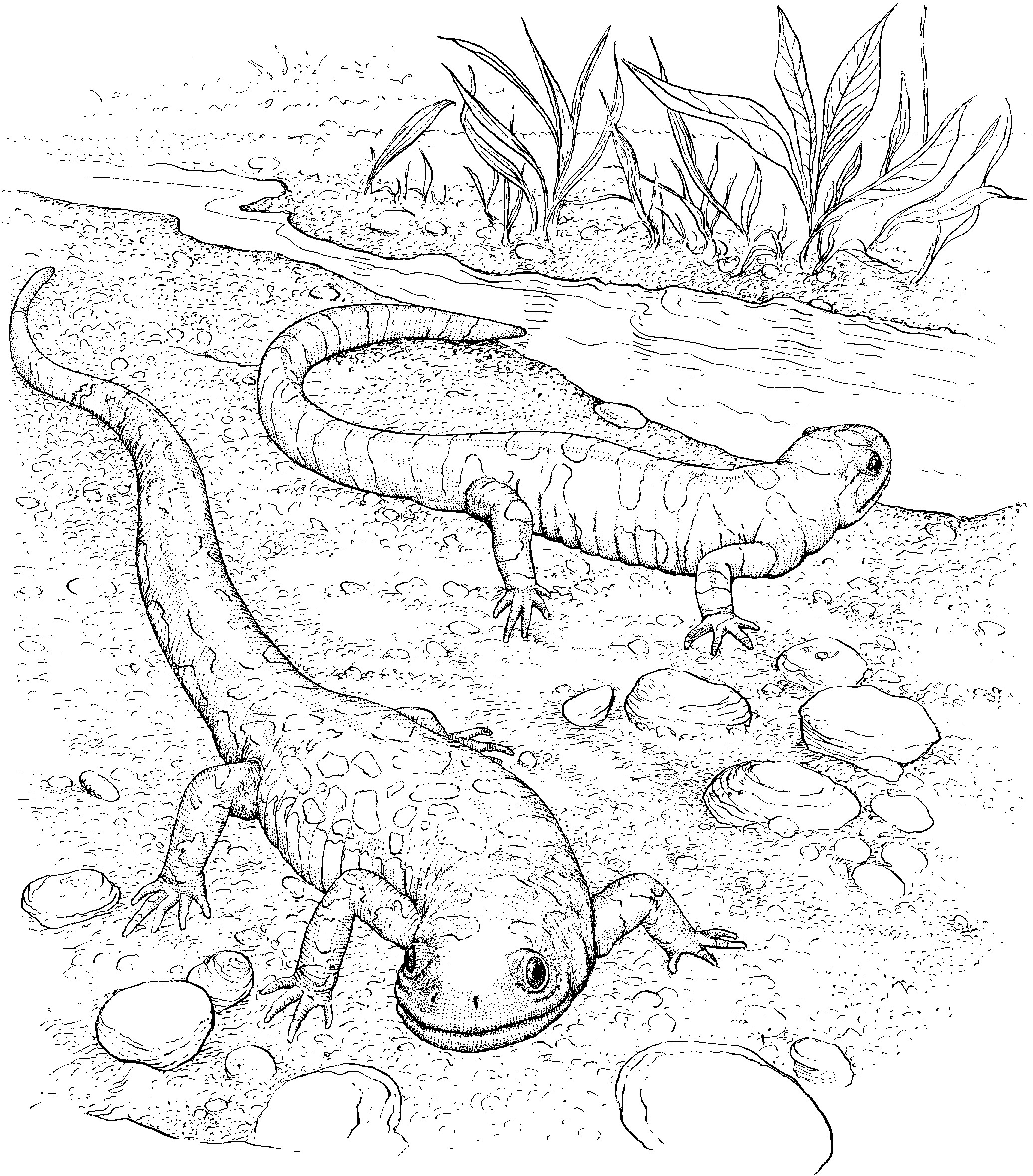 Printable Lizard Coloring Pages