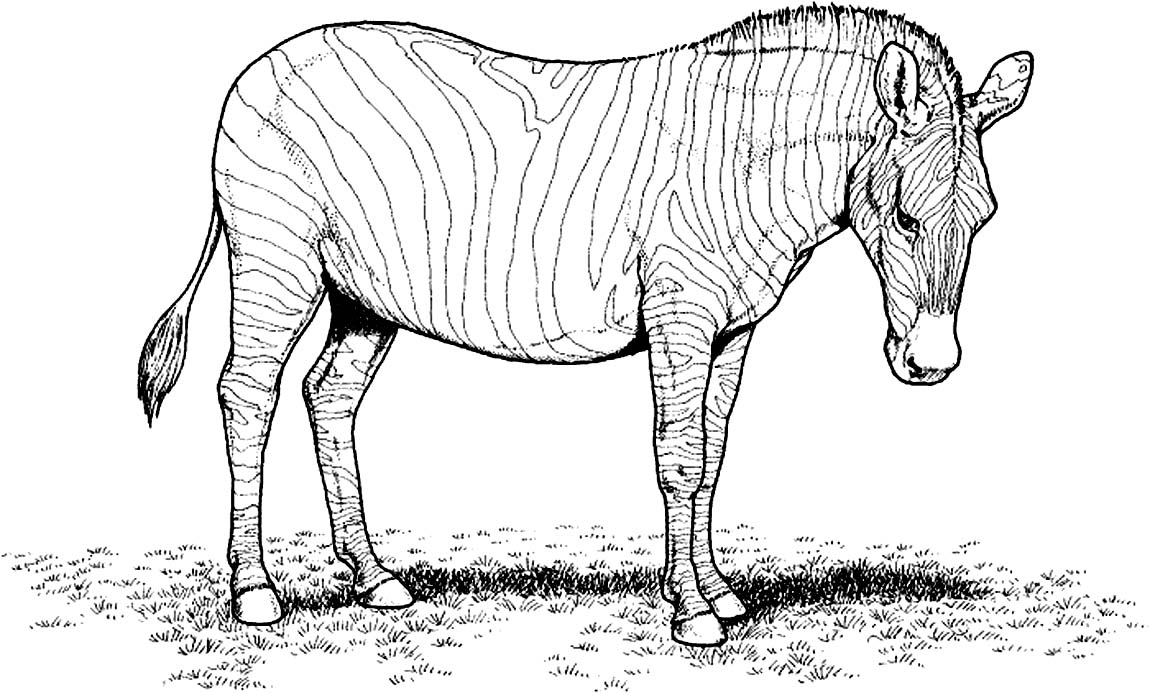 zebra coloring pages free - photo #34