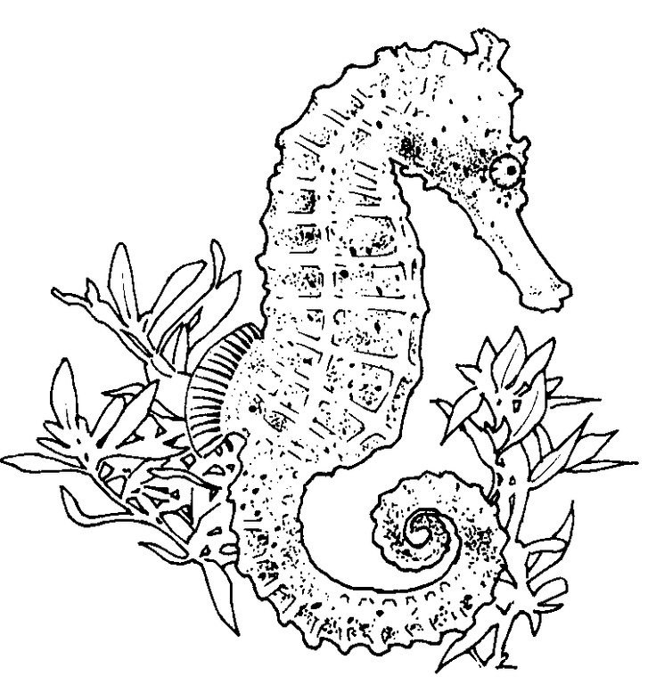 seahorse coloring sheets baby seahorse coloring pages