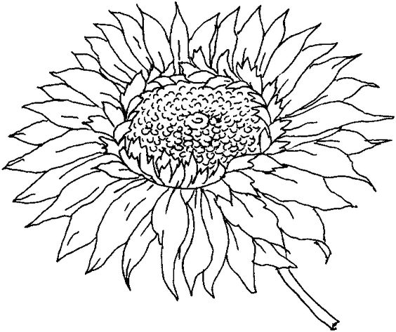 Printable Sunflower Coloring Pages | ColoringMe.com